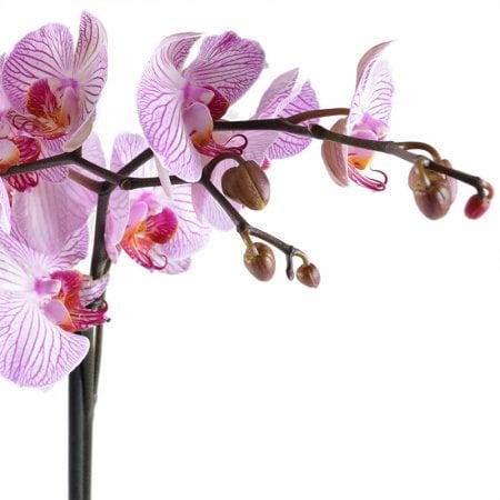Букет Розово-белая орхидея