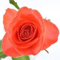 Поштучно оранжевые розы