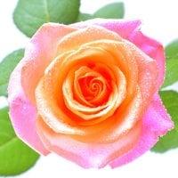 Букет Поштучно коралові троянди Київ