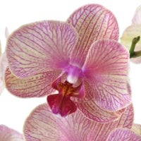 Товар Pink and yellow orchid