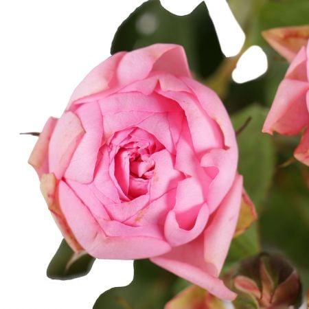 Букет Розовые премиум кустовые розы поштучно