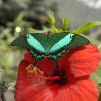 Бабочка Павлин зеленополосый