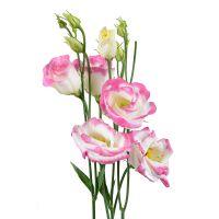 Бело-розовые эустомы поштучно