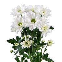 Букет Белые хризантемы поштучно (ветка)
