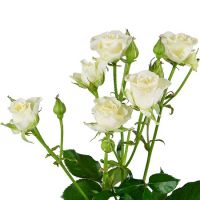 White spay roses by the piece