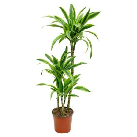 Товар Dracaena Lemon Lime (above 1m)