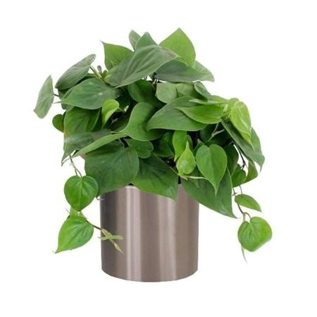 Товар Philodendron