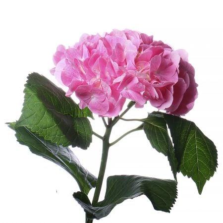 Букет Гортензия розовая поштучно