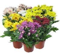 Хризантему в горшках купить с доставкой