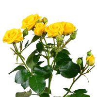 Купить желтые кустовые розы поштучно с доствкой