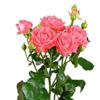 Коралловые кустовые розы поштучно