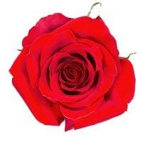 Красные премиум розы Фридом поштучно
