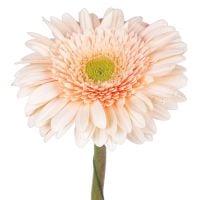 Заказать кремовые герберы поштучно в интернет магазине цветов