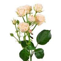 Кремовые кустовые розы поштучно