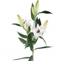 Букет Лилия белая поштучно