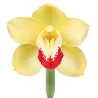 Орхидея желтая поштучно