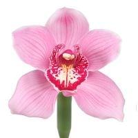 Орхидея розовая поштучно