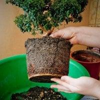 Товар Пересадка больших растений