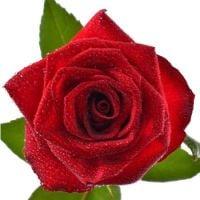 Поштучно красные розы