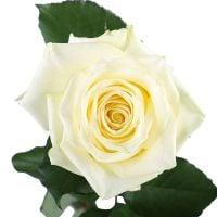 Белые премиум розы поштучно