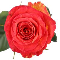 Красно-желтые премиум розы поштучно