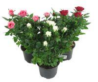 Красивые комнатные цветы розы купить с доставкой