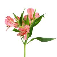 Bouquet Pink alstroemeria by the piece