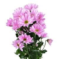 Букет Розовые хризантемы поштучно (ветка)
