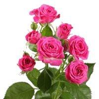 Ярко-розовые кустовые розы поштучно