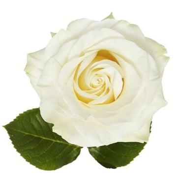 Роза премиум Mondial поштучно Киев