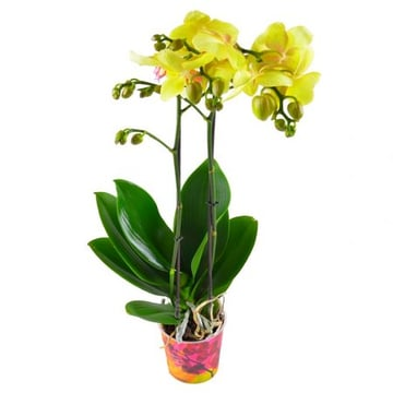Орхидея лимонная. Доставка цветов Киев