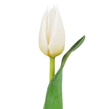 Белые тюльпаны поштучно Киев