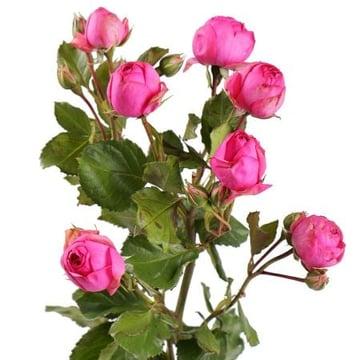Малиновые премиум кустовые розы поштучно Киев