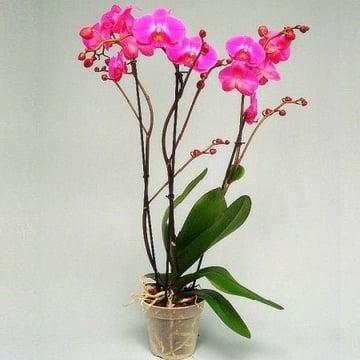 Орхидея Atlantis Тюмень