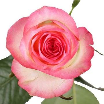 Бело-розовые розы поштучно Киев