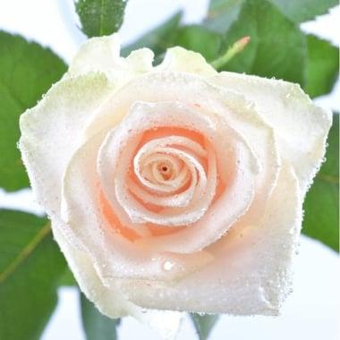 Поштучно кремові троянди Київ