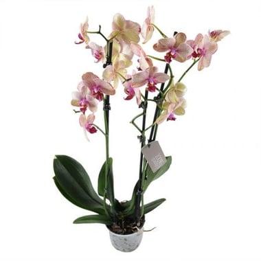Розово-желтая орхидея Киев