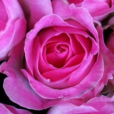 101 розовая роза Федоровский