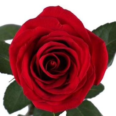 Красные розы поштучно (1м) Киев