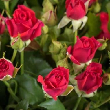 Букет маленькие розы Щучин