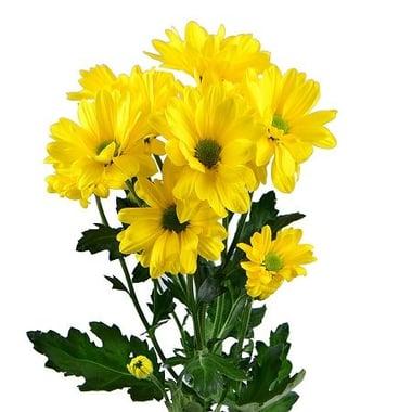 Желтые хризантемы поштучно (ветка) Киев