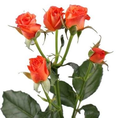 Оранжевые кустовые розы поштучно Киев