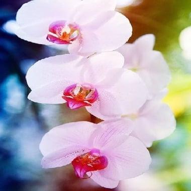 Орхидея Achilles Киев