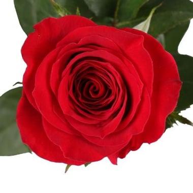 Поштучно красные розы премиум 80 см Киев