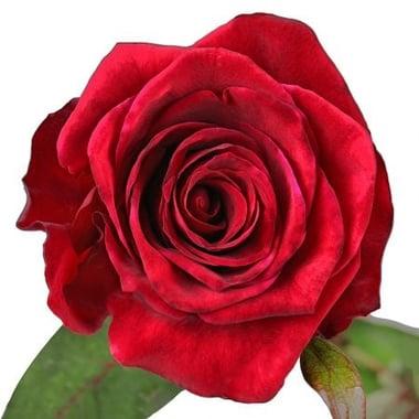 Роза красная 90 см поштучно Киев