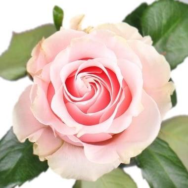 Роза Pink Mondial поштучно Киев