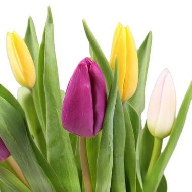 Тюльпаны поштучно Капан
