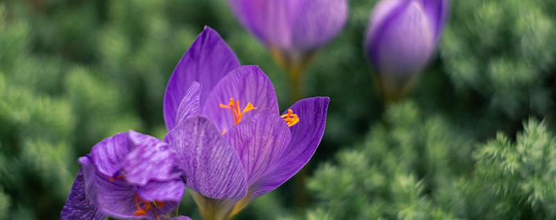 цветы крокус фиолетовый