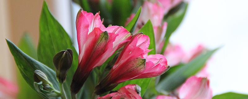 альстромерия розовая цветы