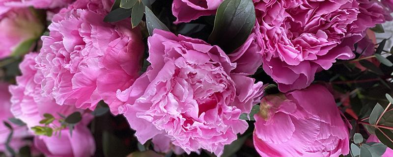 розовые пионы бутоны